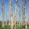 hutan-jati-siap-tebang